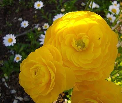 Yellow trio with mini Daisies by Tamara Bettencourt