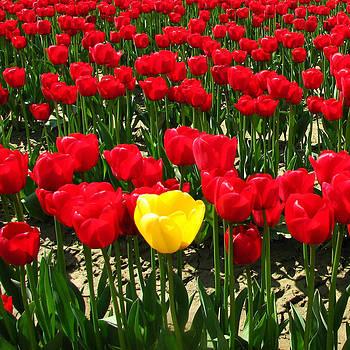 yellow Tulip by Barry Shereshevsky