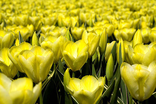 Yellow tulips by Frits Selier