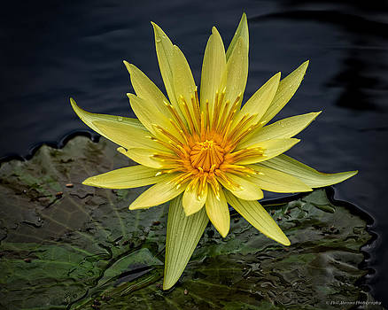 Yellow Water Lily by Phil Abrams