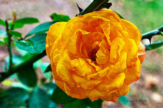 Yellow With Peach Rose by Sandi OReilly