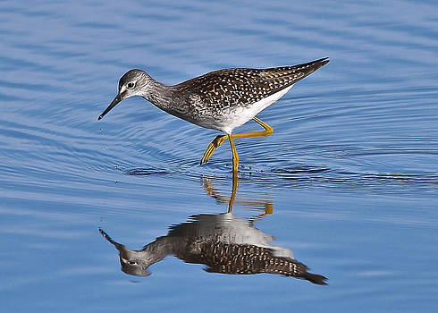 Yellowlegs reflection by Dave Weth