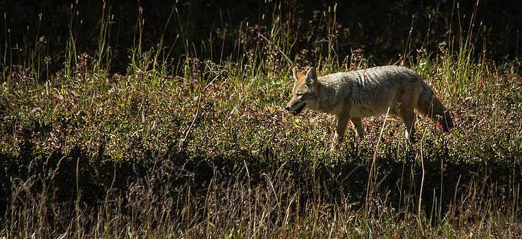 Roger Mullenhour - Yellowstone Coyote