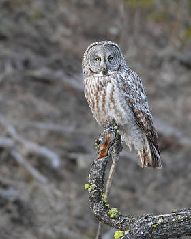 Gerry Sibell - Yellowstone Great Gray Owl