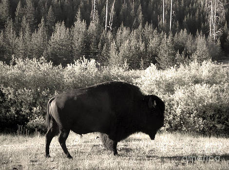 Gregory Dyer - Yellowstone National Park Bison