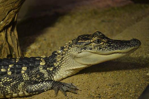 Young Alligator  by Jennifer Kelly