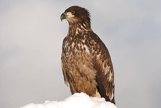 Young Bald Eagle by Lisa Hufnagel
