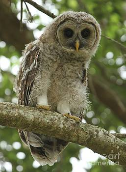 Adam Jewell - Young Barred Owl