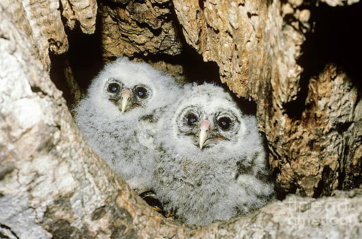 Jim Zipp - Young Barred Owls In Nest Snag