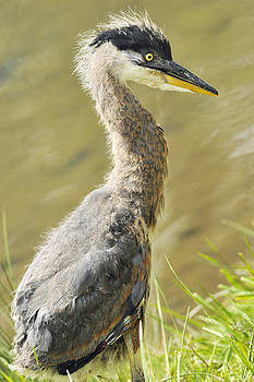 Kenneth Haley - Young Blue Heron