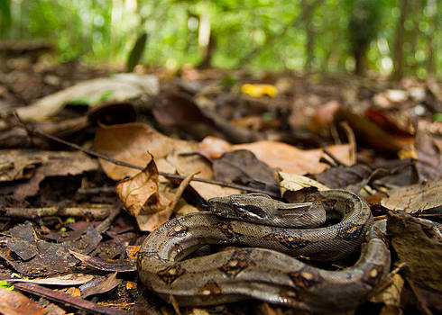 Young Boa Constrictor by JP Lawrence