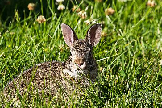 Young Cottontail Rabbit by Ms Judi