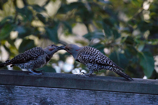 Young Flicker Feeding 3 by Ed Nicholles