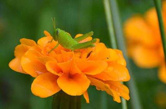 Young Grasshopper by Jodi Terracina