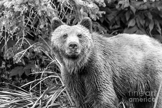 Darcy Michaelchuk - Young Grizzly Bear in the Alaskan Grass Black and White