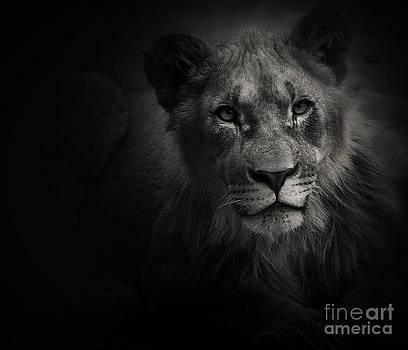 Young Lion by Christine Sponchia