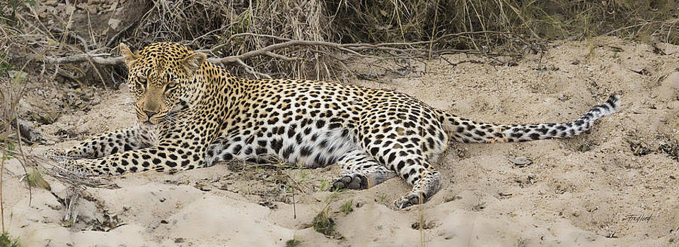 Young Male Leopard by Fred J Lord