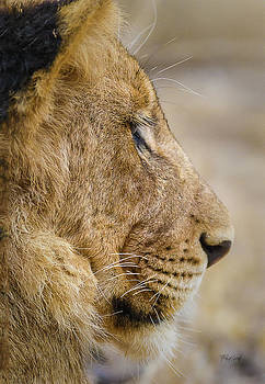 Young Male Lion Resting by Fred J Lord
