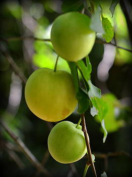 Bishopston Fine Art - Young Mirabelle Plums
