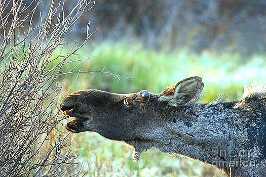 Adam Jewell - Young Moose Munch