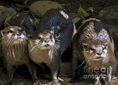 Young Otters by Fred L Gardner