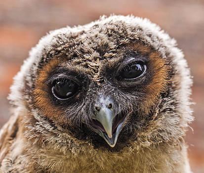 Young Owl by Glenn Hewitt