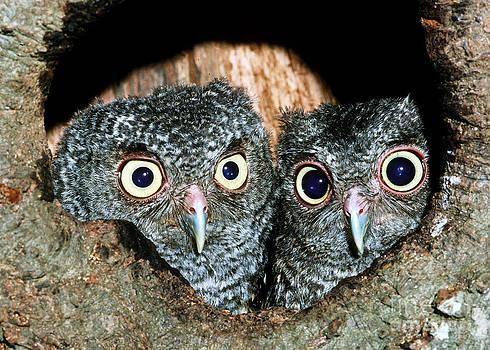 Millard H Sharp - Young Screech Owls Otis Asio