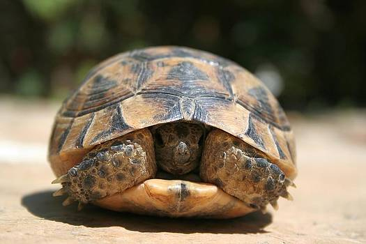 Tracey Harrington-Simpson - Young Spur Thighed Tortoise Looking Out of Its Shell