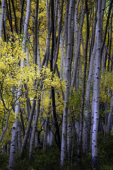Young Aspens by The Forests Edge Photography - Diane Sandoval