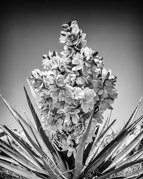 Yucca Bloom by Janice Sullivan