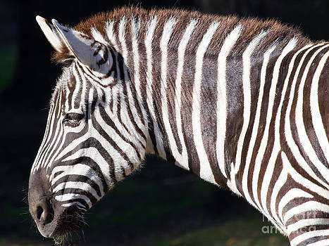 Wingsdomain Art and Photography - Zebra 7D8908