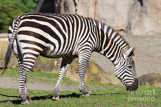 Wingsdomain Art and Photography - Zebra 7D8956