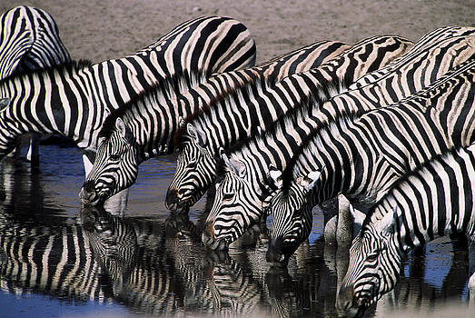 Zebra Line by Stefan Carpenter