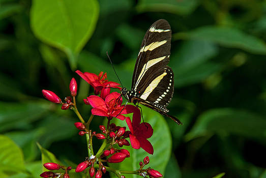 Tam Ryan - Zebra Longwing