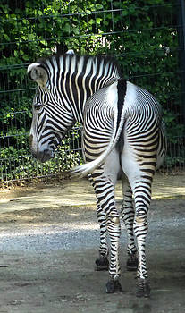 Zebra showing backside by Blago Simeonov
