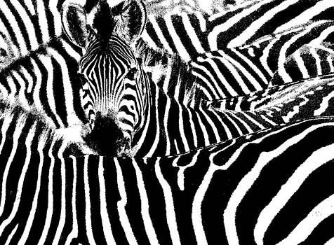Zebras by Penny Ovenden