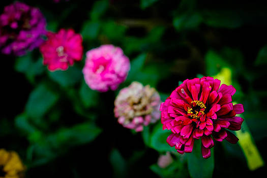 Zinnia Singapore Flower by Donald Chen