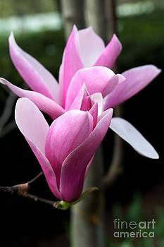 Pink Magnolia by Freda Sbordoni