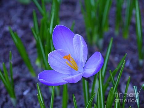 Spring Bloom by Nancie DeMellia