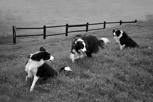 3 Collies by Miguel Capelo