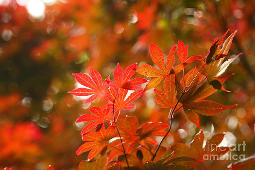 Gaspar Avila - Acer leaves