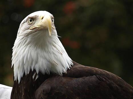 Debi Ling - Bald Eagle