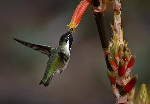 Saija  Lehtonen - Black-chinned Hummingbird