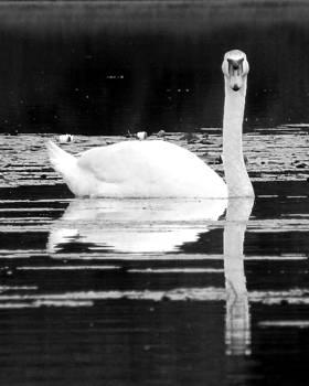 Black Pond Swans #4 BW by Kira Varszegi