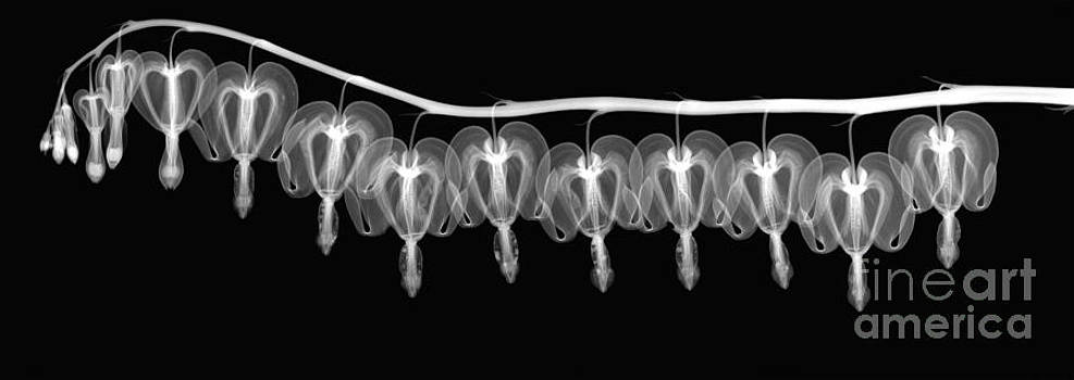 Ted Kinsman - Bleeding Heart Flowers X-ray