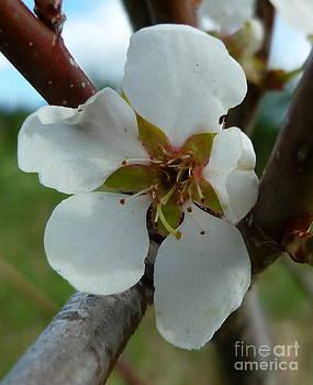 Sue Wild Rose - Blossom