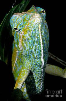 Dante Fenolio - Carpet Chameleon
