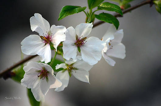 Cherry Blossoms by Sandi OReilly
