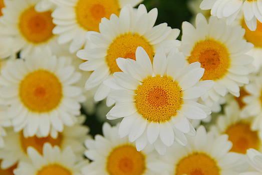 Daisy Chain by Andrea Kollo