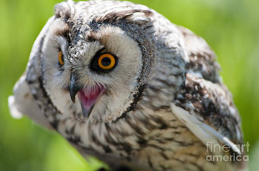 Eagle owl by Andrew  Michael